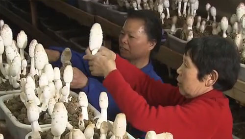 """发展蘑菇种植和管道沼气 稻草和莲壳""""变废为宝"""""""