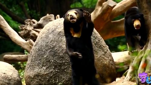 壁纸 大熊猫 动物 500_284