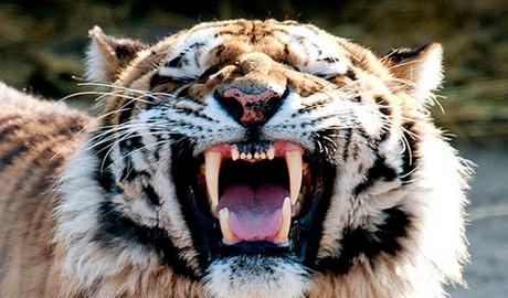 老虎袭人:动物园游览需警惕