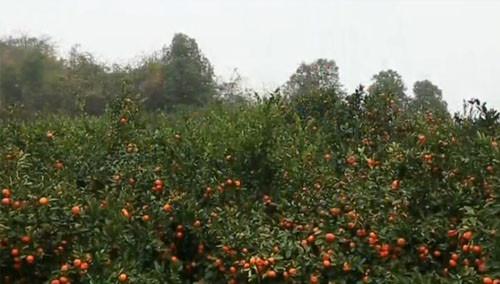 慈利新星村80万斤柑橘滞销